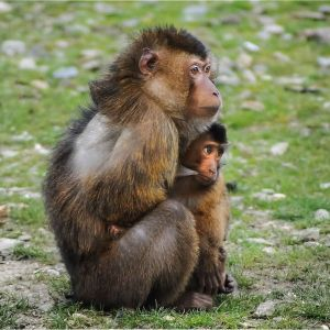 Southern Pig-Tailed Macaque photo