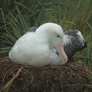 Wandering Albatross nest on Prion Island, South Georgia