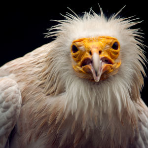 Warning by an Egyptian vulture