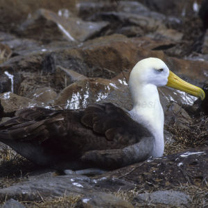 Waved Albatros - Galapagos_ 62