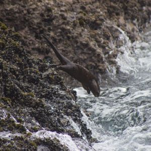 Marine Otter photo