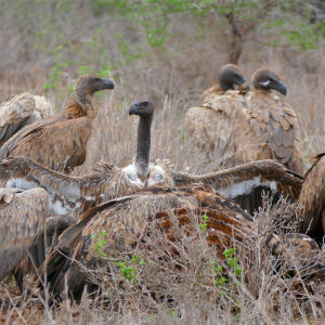 White-backed Vultures (Gyps africanus) on zebra carcass ...