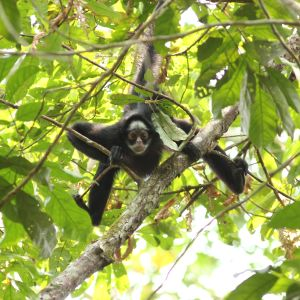 White-cheeked Spider Monkey, Ateles marginatus