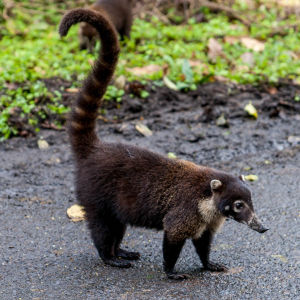 White-Nosed Coatimundi2.jpg