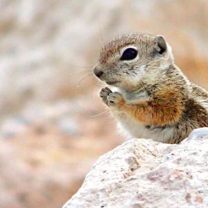White- tailed antelope squirrel