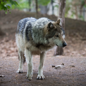 Wolf Looking at Its Pack