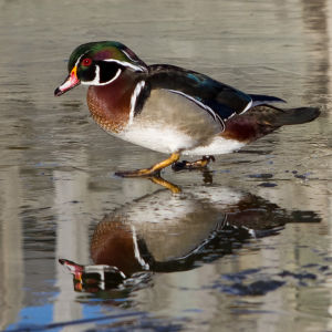 Wood duck and reflection