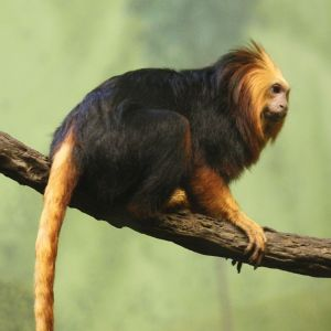 Golden-Headed Lion Tamarin photo