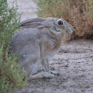 Cape Hare photo