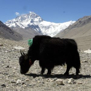 Yak & Everest