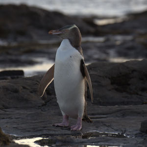 Yellow Eyed Penguin Facts Diet Habitat Amp Pictures On