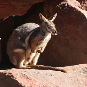 Yellow-footed rock Wallaby at Reptile Park, Gosford