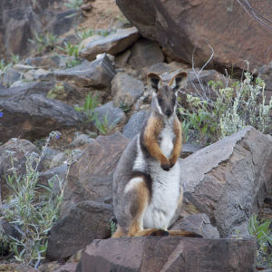 Yellow-footed rock wallaby I