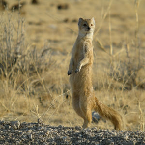 Yellow Mongoose (Cynictis penicillata), Etosha National Park, Namibia