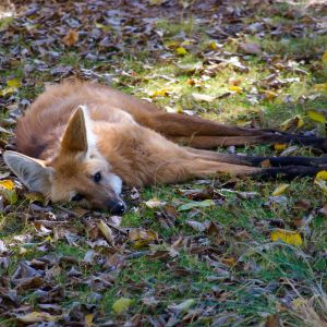 Yellow, the Maned Wolf