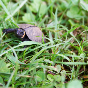 Young bog turtle