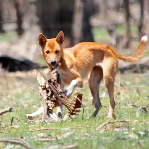 Young Dingo Adolescent picking the scraps off a carcass