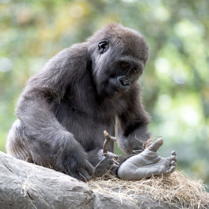 Young Gorilla Looking at its Foot