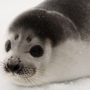Young Ribbon Seal