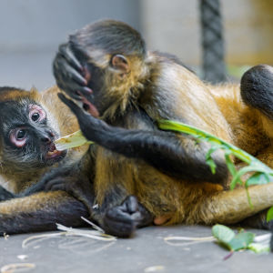 Young spider monkeys playing