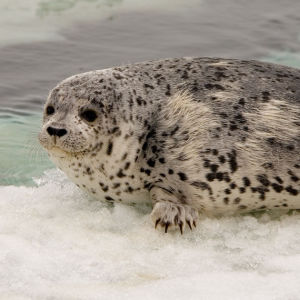 young spotted seal II