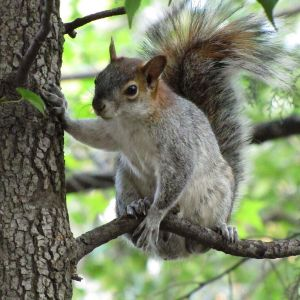 Mexican Gray Squirrel photo