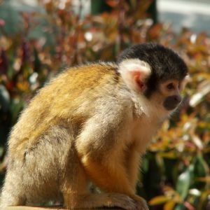 ZSL - Black Capped Squirrel Monkey 02